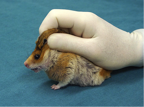 Husbandry, Handling, and Common Diseases of Guinea Pigs, Rats, and