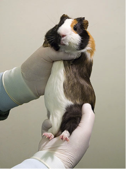 Husbandry, Handling, and Common Diseases of Guinea Pigs